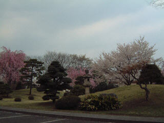Cherry Blossoms 4.