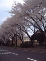 Cherry Blossoms 5.